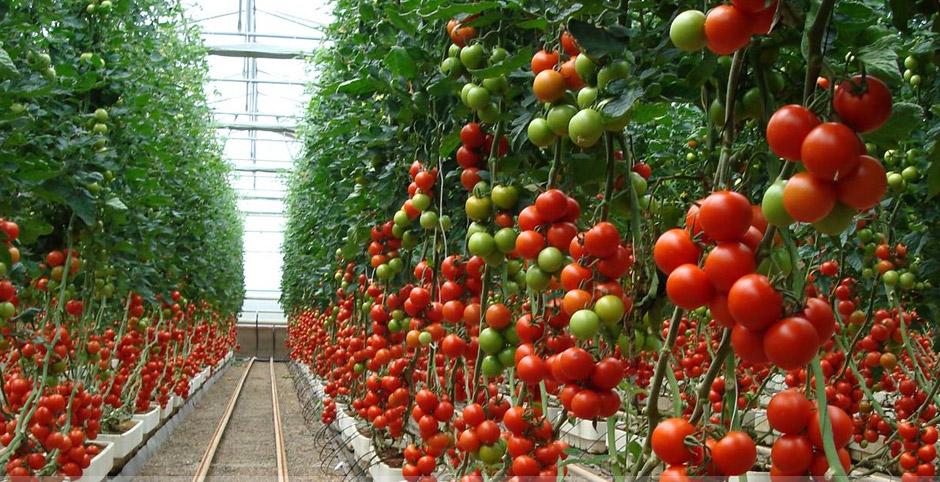 tomatera en invernaderos
