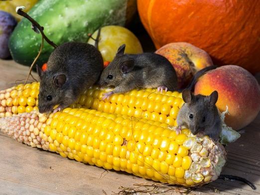 ratones comiendo maíz