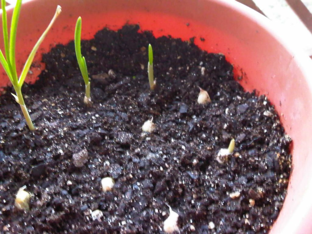 primeros-cultivos-para-el-huerto-cultivar-ajos-en-casa