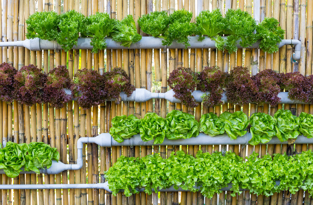 cultivar-lechugas-en-casa