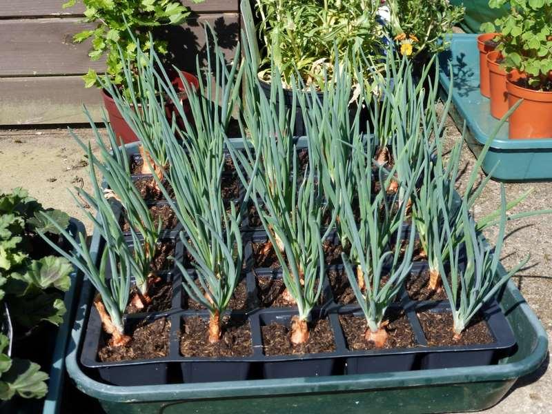 primeros-cultivos-para-huerto-plantar-cebollas-en-casa