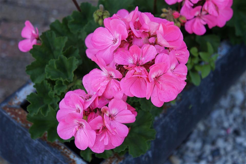 Mosca africana en geranio rosa