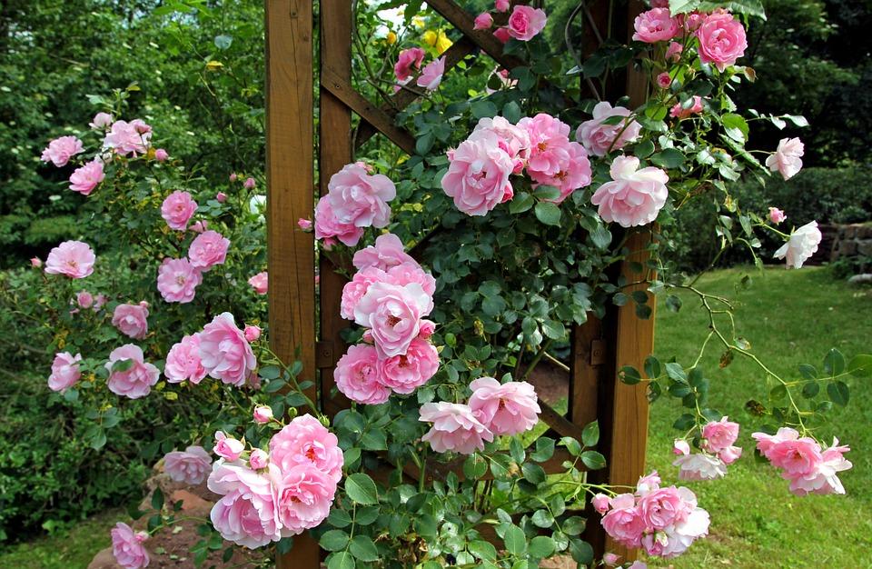 Plagas de los rosales