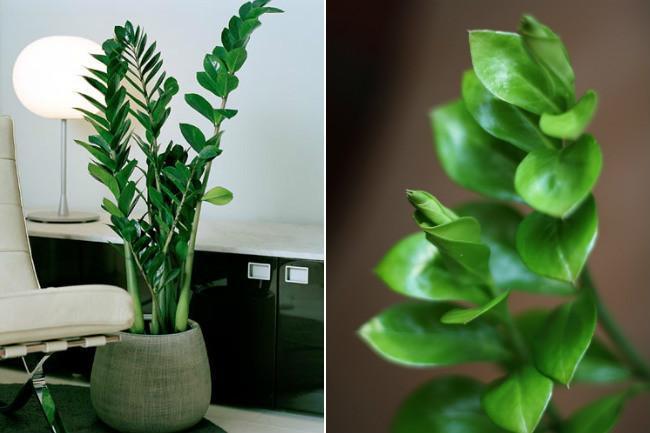20 plantas de interior con fotos y caracter sticas lista for Plantas de interior muy duraderas