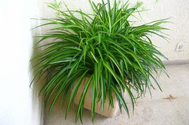 20 plantas de interior con fotos y caracter sticas lista for Plantas de interior para colgar