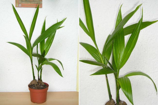 20 plantas de interior con fotos y caracter sticas lista for Plantas de interior tipo palmera